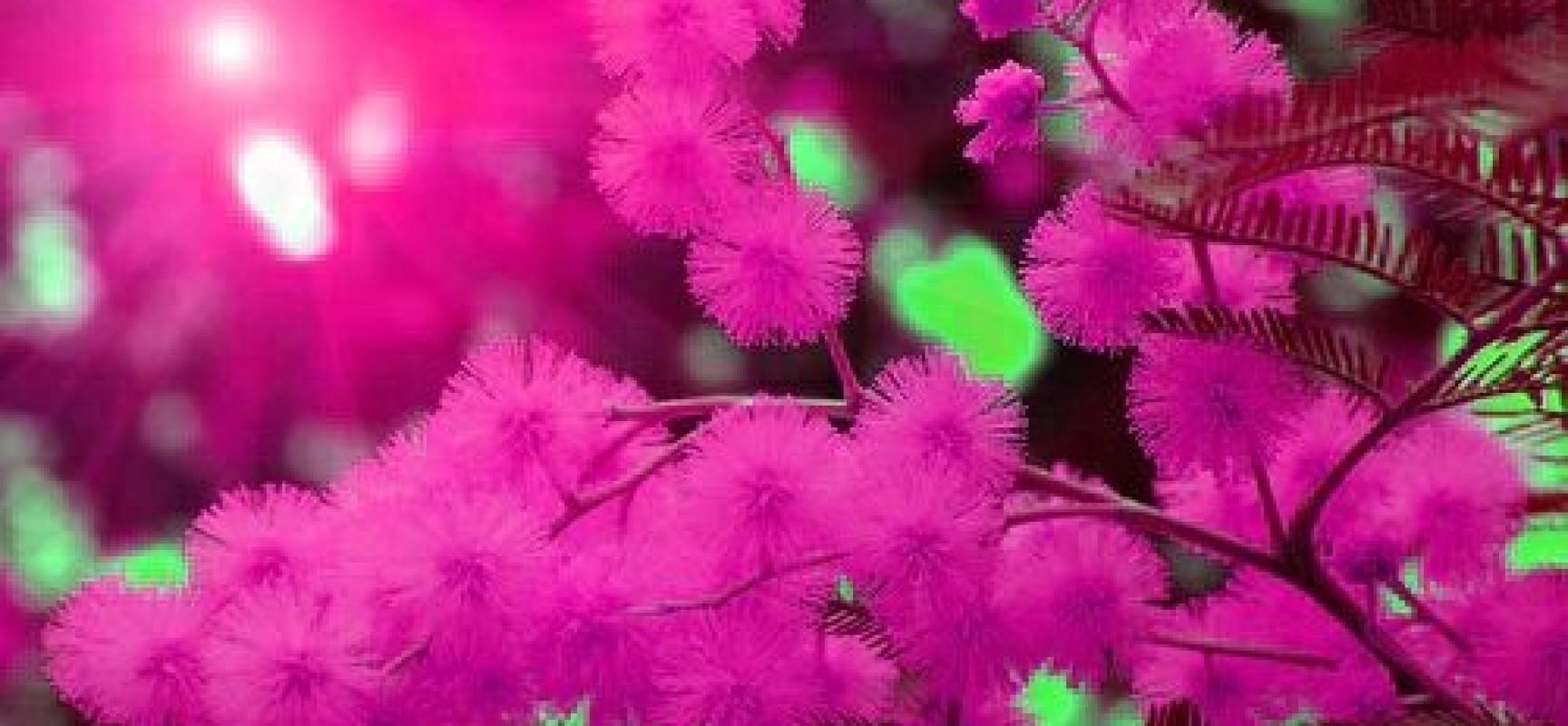 Una mimosa turritana